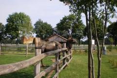 Гордый верблюд