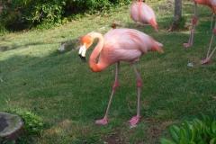 Фламинго на прогулке