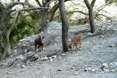 Нашла каких-то горных козликов