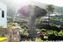 Драконово дерево - один из символов острова