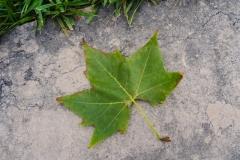 Кленовый листик нашли