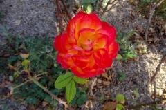Роза в октябре! Как приятно