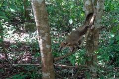 Еноты и по деревьям могут перебираться