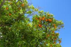 Апельсины созрели