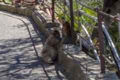 Гибралтарская обезьянка