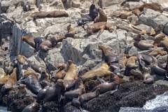 Морские львы на островах Паломино