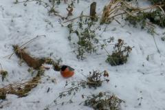 Снегирь прилетел