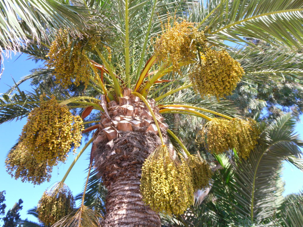 Фисташковая пальма