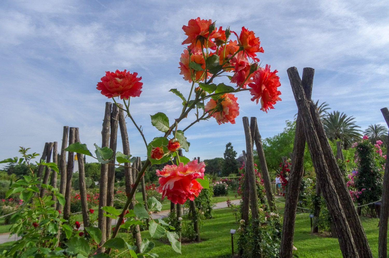 Много роз, о них заботятся... И даже конкурсы проводят
