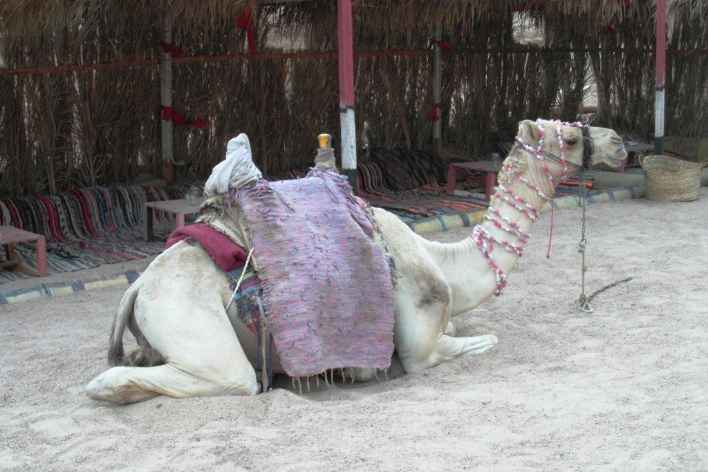 Гордый и очень красивый верблюд