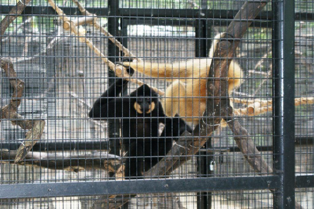 Вот такие забавные обезьянки живут в парке