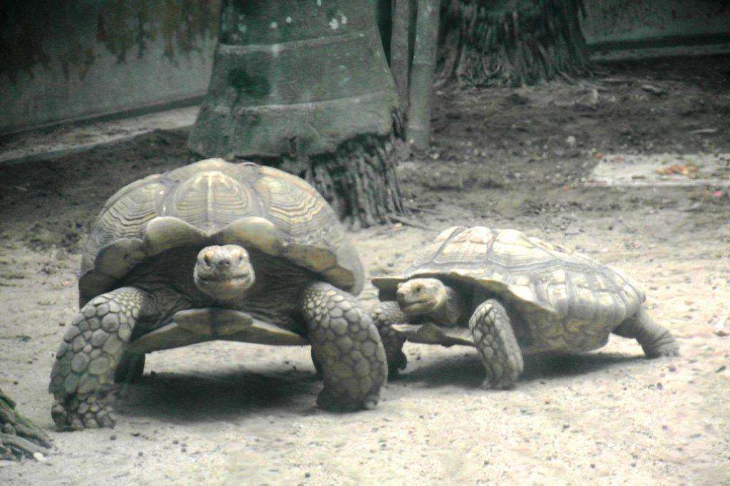 Громадные черепахи