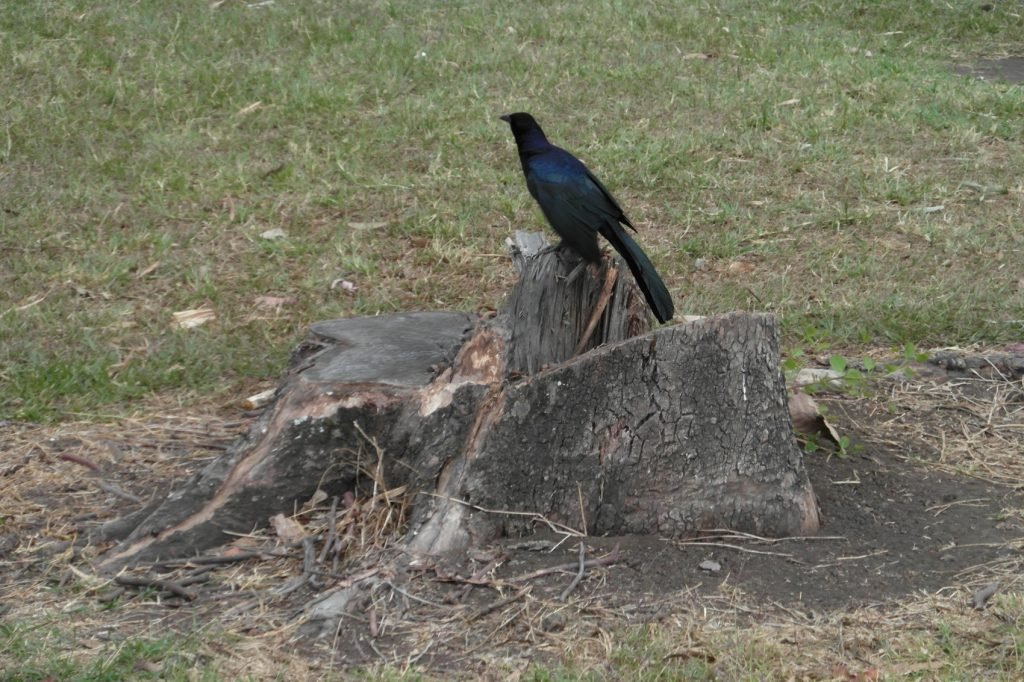 Шикарная ворона