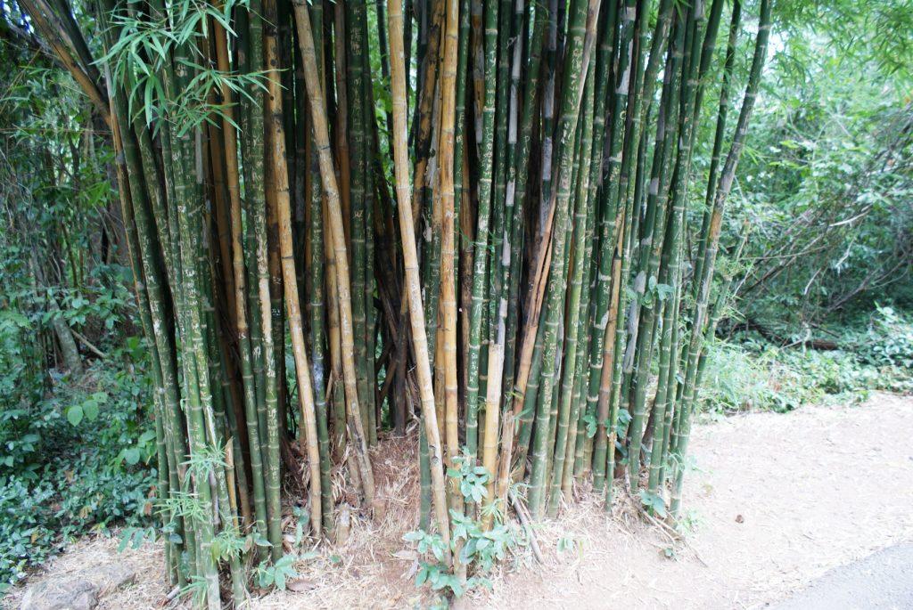 Повсюду растет огромный бамбук
