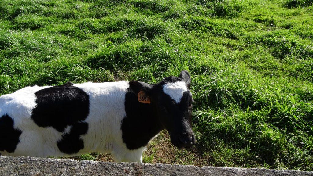 Все коровы, которых мы встретили, пронумерованы