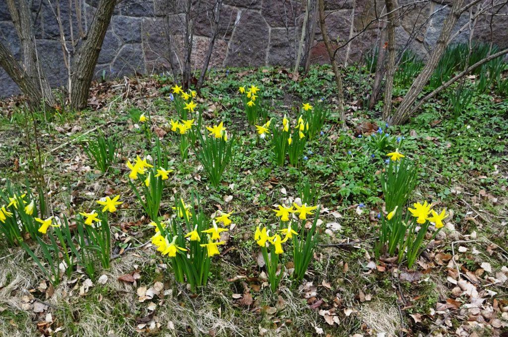 Суровая шведская весна и праздничные цветы