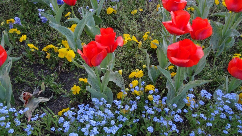 Огромные тюльпаны (сравните с остальными цветами)