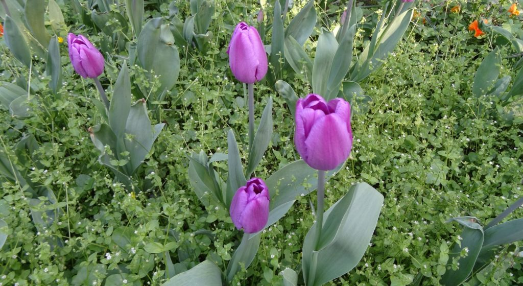 Очень много тюльпанов в Венгрии. Тут, например, такого цвета