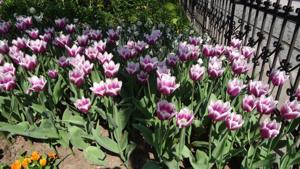 Здесь уже вовсю тюльпаны цветут