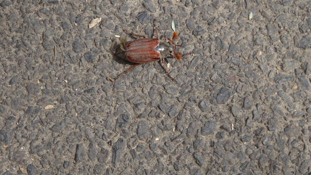 Вот такого огромного жука нашли