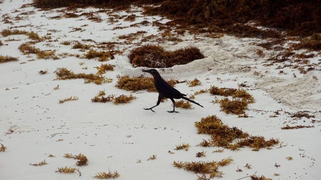 Вот такая строгая птица гуляла по пляжу после дождя