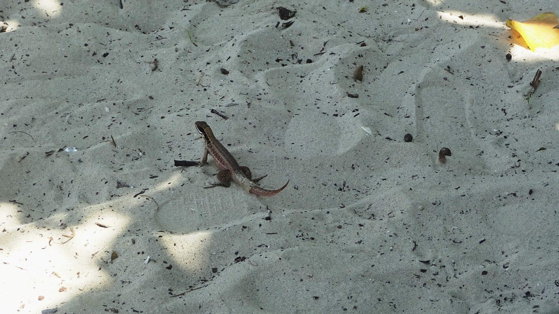 Ящерки бегают, приподнимая хвост: жарко, видимо