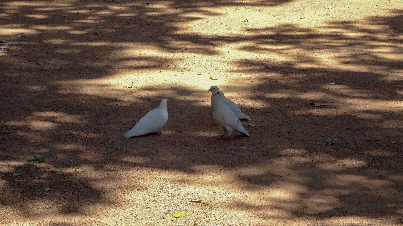 Белые голуби не редкость