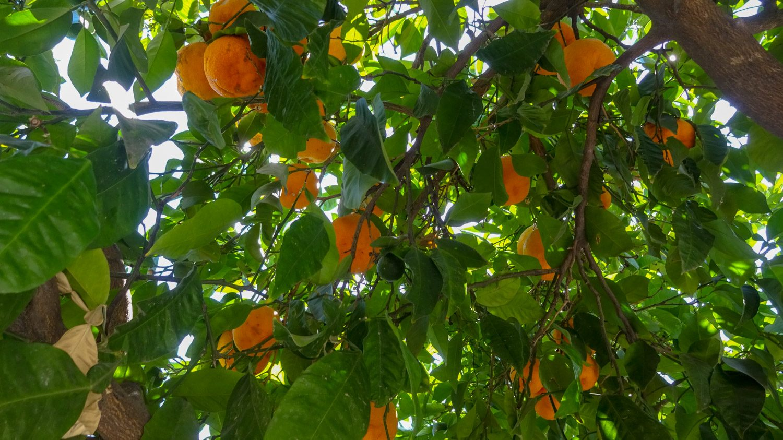 Чудесные апельсиновые деревья