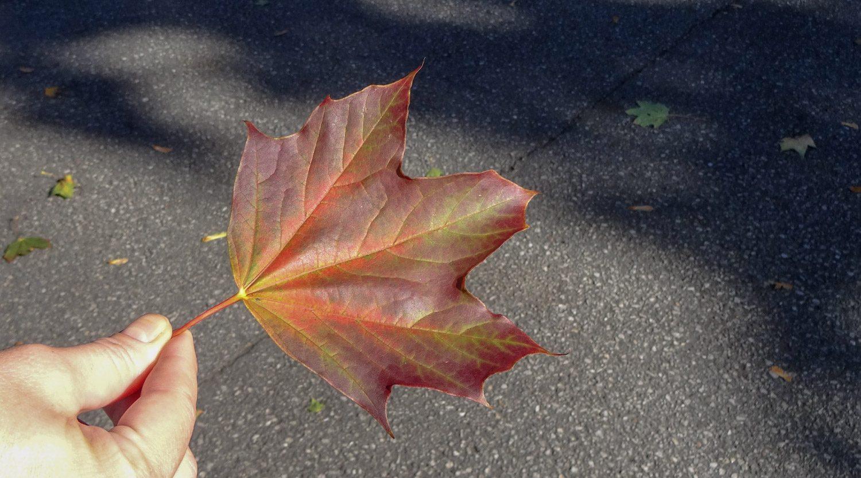 Аня нашла совсем осенний кленовый листик...