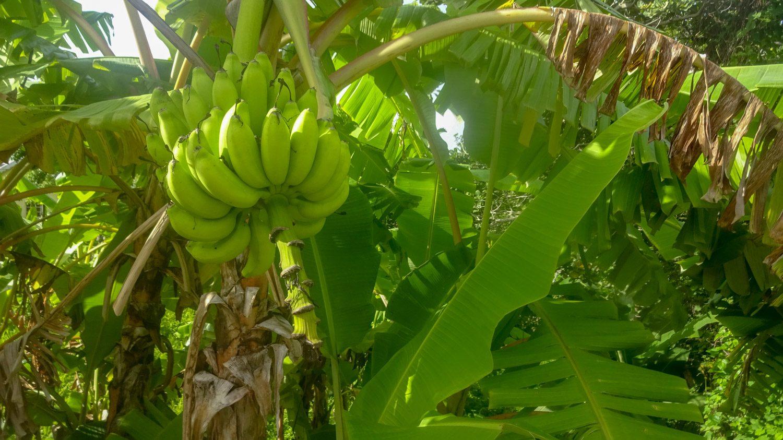 У входа растут бананы