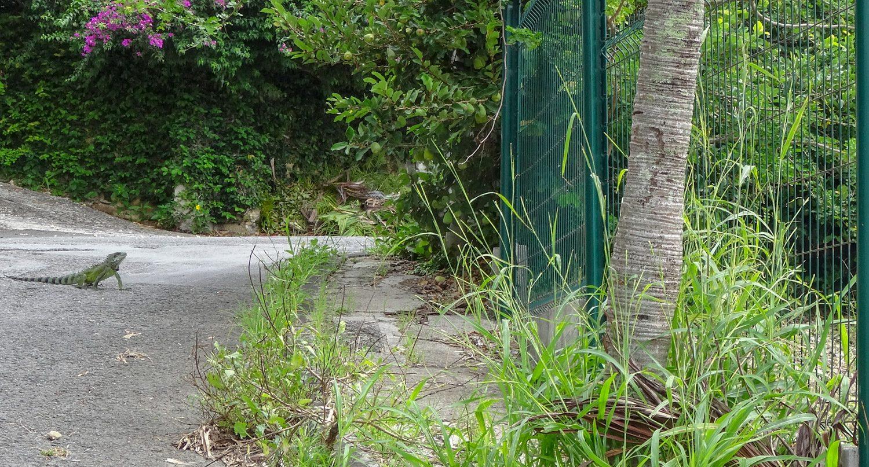 Одну из дорог переходила вот такая игуана