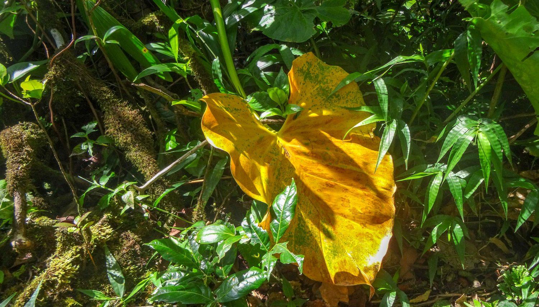 Листья огромные... А еще удивляет, что нет комаров и мошек, мы-то приготовились с ног до головы обрызгаться защитным средством - не пригодилось