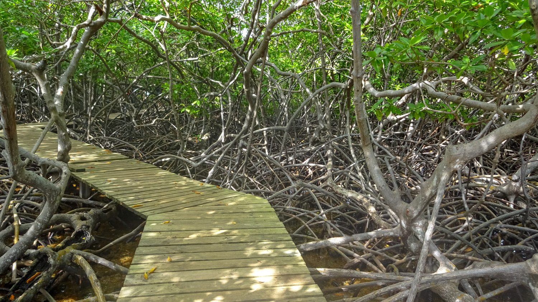 Когда вокруг жара, приятно прогуляться по мангровым зарослям