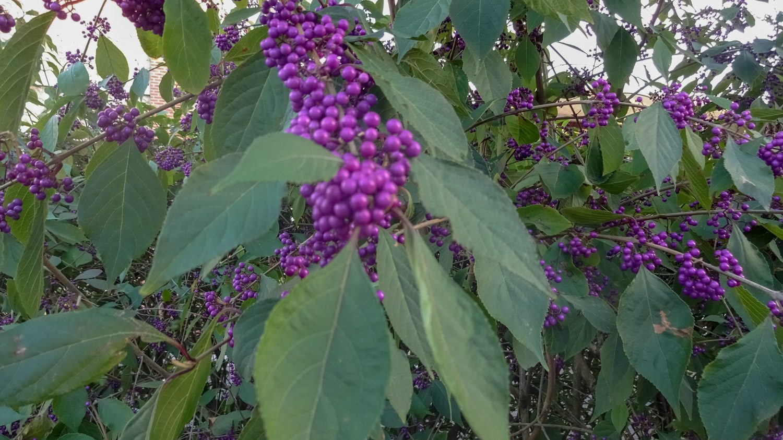 Неведомые фиолетовые ягоды