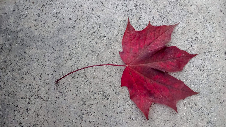 Нашли красный кленовый лист