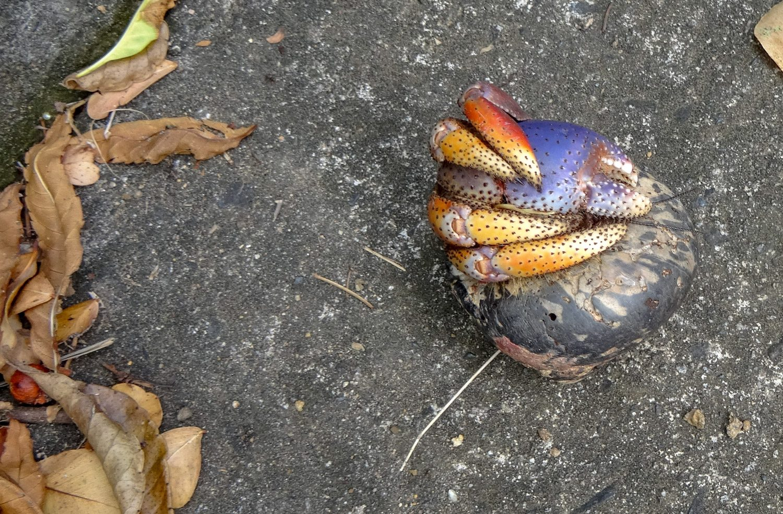 О крабах: уже позже на парковке нашли вот такого необычного (он жив, даже пытался цапнуть Таню за палец)