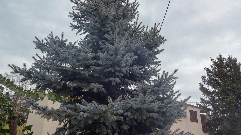 Голубая ель - прямо как в моем районе