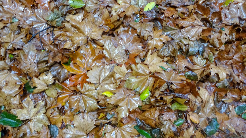 Очень много опавшей листвы