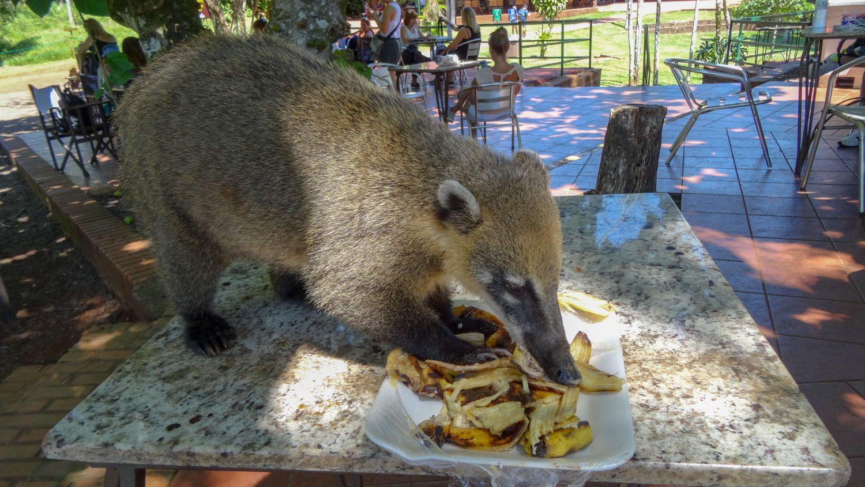 Один из них решил, что нам достаточно бананов, взобрался на стол и доел наш перекус. Еще и конкурентов отгонял