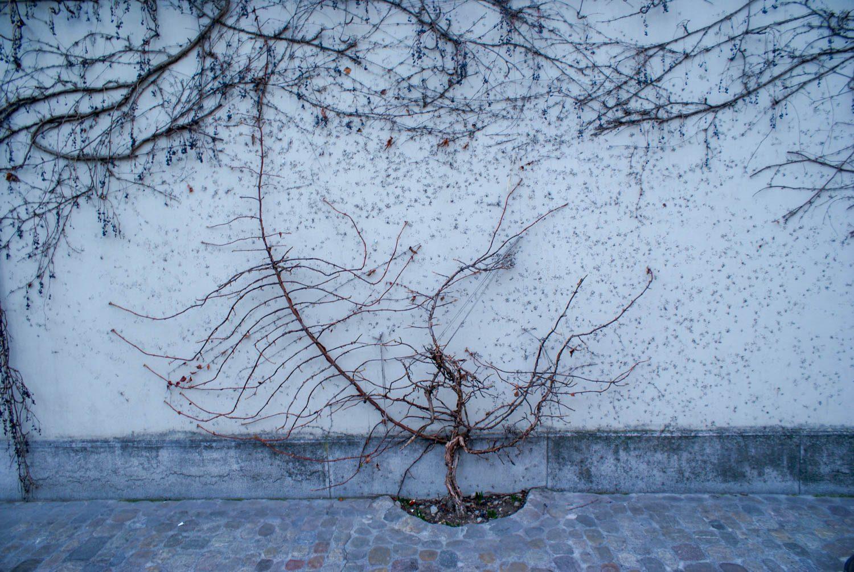 Дерево постепенно захватывает стену