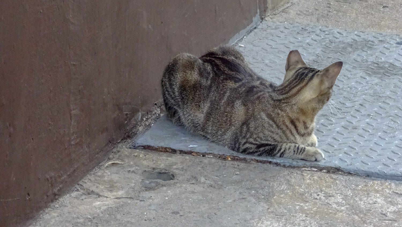Панамская кошка