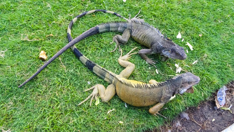 Две игуаны сражаются за капусту