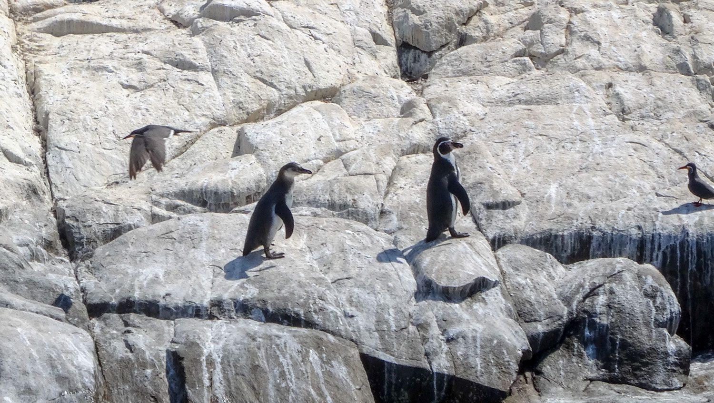 Увидеть этих милашек можно на побережьях Чили и Перу
