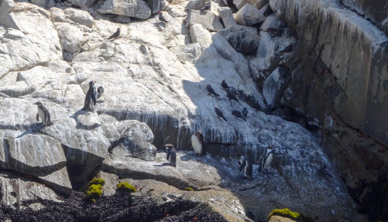 Первый раз в естественной среде обитания увидела пингвинов!