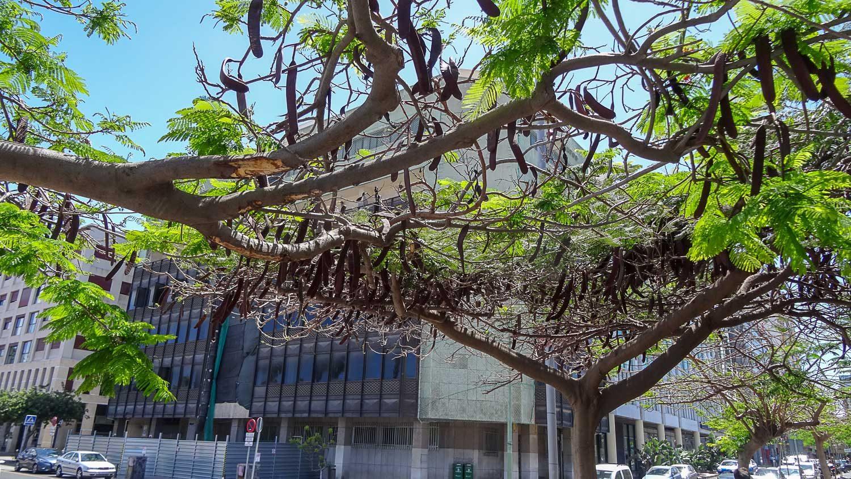 Не знаю, что это за дерево, но от солнца защищает отлично