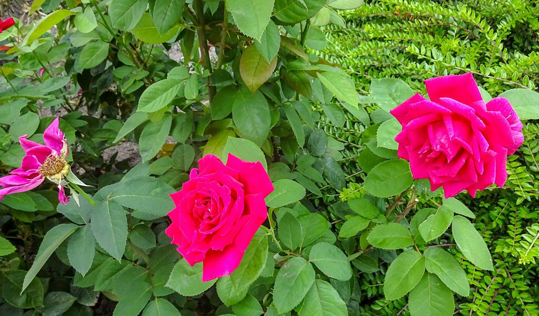 Чудесные розы
