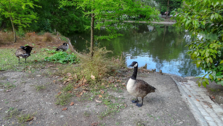 Довольно большой пруд с птицами