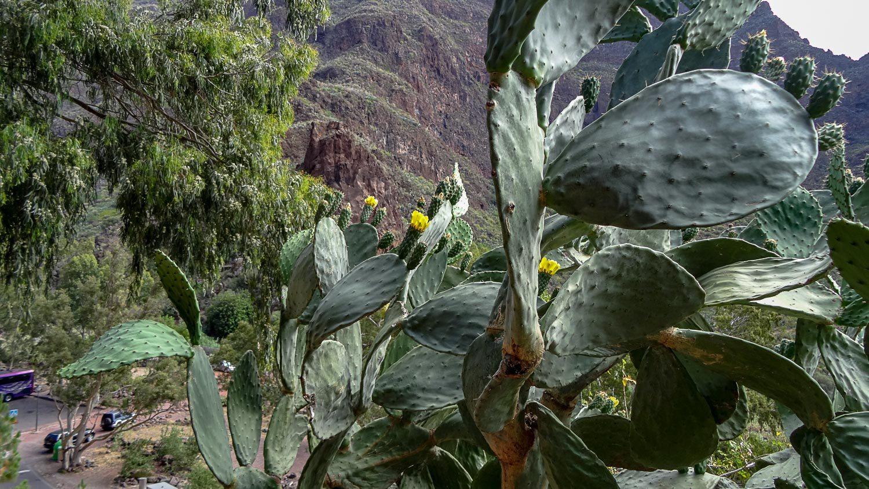 Здесь же растут гигантские кактусы