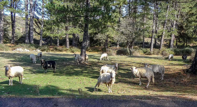 И овечек