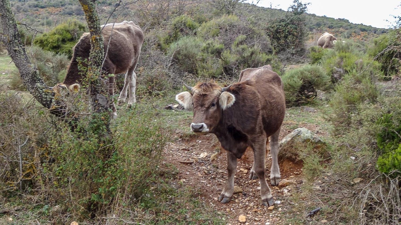 По пути встретили бычков